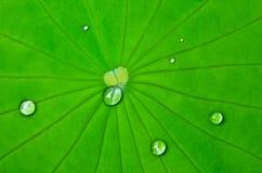 Regndroppe på Lotus Leaf Arkivfoto