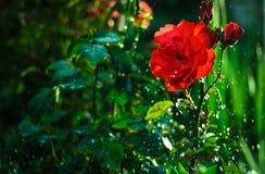 Regnen auf einem Rosebaum stockfotos