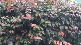 Regnen im Sommer auf Buchenbaum stock footage