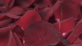 Regnen Sie das Gießen unten auf Hintergrund des roten Zeitlupevorrat-Gesamtlängenvideos der rosafarbenen Blumenblätter Rück stock video footage