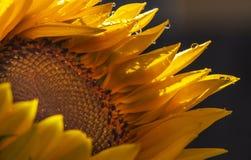 Regnen Sie in der Sommerzeit, die Sonnenblume, die dort kurze Zeit genießt Stockfotografie