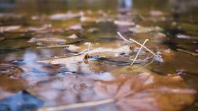 Regnen Sie die Tropfen, die an der Pfütze mit den gelben Ahornblättern fallen stock video