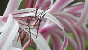 Regnen Sie die Tropfen, die auf Blumenanlage der rosa und weißen Lilie fallen stock video