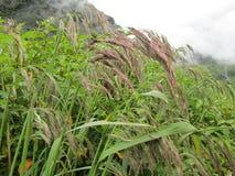 Regnen Sie gewaschenes Garhwal-Schilfgras im Tal von Blumen Lizenzfreie Stockfotografie