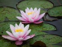 Regnen Sie Tropfen auf den Blumenblättern der Lotos lizenzfreie stockfotos