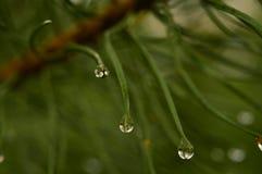 Regnen Sie Tropfen auf Kiefernnadeln angesichts der Morgensonne Lizenzfreie Stockbilder