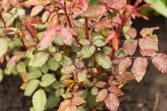 Regnen Sie Tropfen auf kleinem Rosenbusch, schön Lizenzfreie Stockbilder