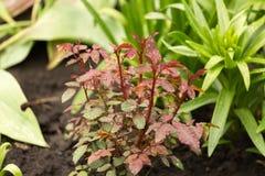 Regnen Sie Tropfen auf kleinem Rosenbusch, schön Lizenzfreies Stockfoto