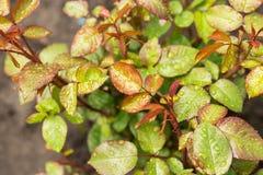 Regnen Sie Tropfen auf kleinem Rosenbusch, schön Lizenzfreies Stockbild