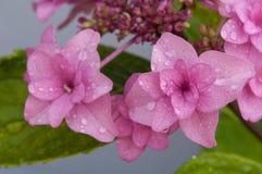 Regnen Sie Tropfen auf rosa Hortensie des Gartens auf blauem w Stockbild