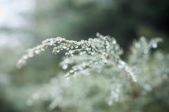 Regnen Sie Tropfen auf Zypressenbaum der Hecke lizenzfreies stockfoto