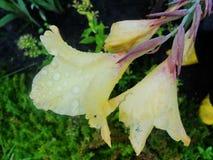 Regnen Sie Tropfen des Taus auf dem Blumenblatt einer gelben Blume Lizenzfreie Stockfotografie
