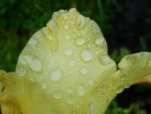 Regnen Sie Tropfen des Taus auf dem Blumenblatt einer gelben Blume Lizenzfreie Stockfotos