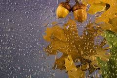 Regnerischer bewölkter Tag des Herbstes mit trockenen Blättern und Eicheln, Wassertropfen auf dem Glas Stockbild