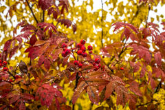 Regnerisches Autumn_Fall Bunte Blätter Defading auf ashberry Baum Der Wald gießt mit bunten Beeren aus Russland sibirien Stockfoto