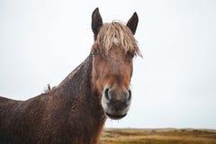 Regnerisches nasses isländisches Pferd Stockfotografie