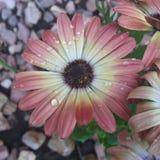regnig blomma Royaltyfri Fotografi