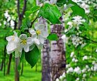 regnig fjäder blomstra filialtree för äpple Royaltyfri Bild
