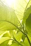 regnig grön leaf för droppe royaltyfri bild