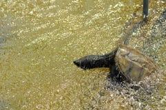 Regnig säsong. Sköldpadda i regnet Arkivbild