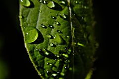 Regniga droppar för grön bladwhit Arkivfoton