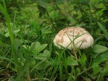 Regniga säsonger gräs och champinjon royaltyfri bild
