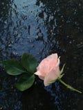 Regnigt steg Royaltyfria Foton