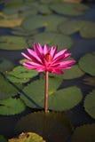 Regno della Cambogia della ninfea del fiore della Cambogia di meraviglia Fotografia Stock
