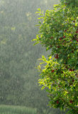 regnsommar arkivbilder