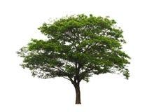 Regnträd eller valnöt- eller Samanea Saman för östlig indier som träd isoleras på vit bakgrund med den snabba banan royaltyfri foto