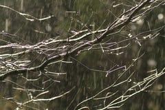 regntree Arkivbild