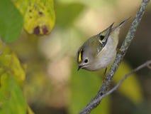 Regolo di Regulus dell'uccello Immagini Stock Libere da Diritti