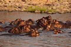 Regroupement d'hippopotame Images libres de droits