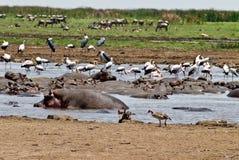 regroupement d'hippopotame Photos libres de droits