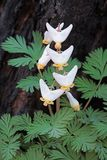Regrowth of a the dutchman`s breeches. A burnt out tree stump is the backdrop for the small white teardrop-shaped bulblets of a dutchman`s breeches. The white stock images