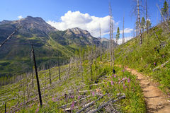 Regrowth after a fire on a mountain slope. Regrowth on the Stanley Glacier trail in Kootenay National Park in British Columbia Stock Photos