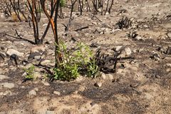 Regrowth after fire stock image