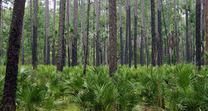 Regrowth after Forest Fire. Palms repopulating a pine forest after a forest fire in Florida Stock Photo