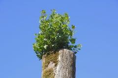 Regrowth nach Baum-Belag Stockfotos