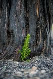 Regrowth of shrub in Blue cut Fire area. Small green shoot growing from base of burned bush Royalty Free Stock Images