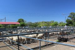 Sheep waiting in enclosures at an auction of livestock in Bloemfontein, South Africa. Regular auction of farm animals stock photography