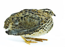Regular color quail isolated on white background Royalty Free Stock Image