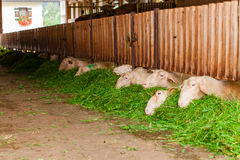 Regular feeding sheep. Royalty Free Stock Photos
