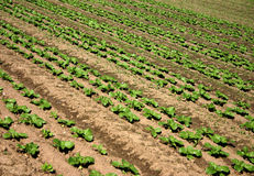 Regular rows. Rows of seedlings royalty free stock photos