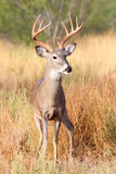 A regular ten point buck. A regular ten point whitetail buck Royalty Free Stock Photos