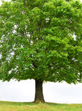 Regular tree Stock Images