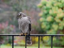 Sparrowhawk in the garden. Regular vistors to the garden are a pair of sparrowhawks, probably because I have a huge number of wee birds coming to eat at what stock photo