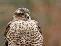 Sparrowhawk in the garden. Regular vistors to the garden are a pair of sparrowhawks, probably because I have a huge number of wee birds coming to eat at what royalty free stock images