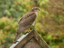 Sparrowhawk in the garden. Regular vistors to the garden are a pair of sparrowhawks, probably because I have a huge number of wee birds coming to eat at what royalty free stock photo