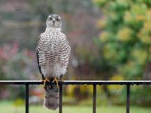 Sparrowhawk in the garden. Regular vistors to the garden are a pair of sparrowhawks, probably because I have a huge number of wee birds coming to eat at what royalty free stock photography